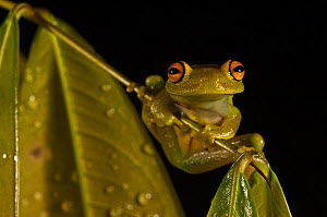 Tree frog (Hypsiboas /  Hyla cinerascens) in rainforest, Iwokrama Reserve, Guyana  -  Pete Oxford