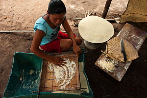 Macushi woman preparing cassava bread from Cassava / Yuca (Manihot esculentus),  crop is harvested, peeled, grated, squeezed to a matape, sieved, and roasted into a large flat piece of bread, Fairview...  -  Pete Oxford
