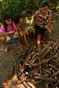 Macusha woman and children preparing cassava bread from Cassava / Yuca (Manihot esculenta),  crop is harvested, peeled, grated, squeezed to a matape, sieved, and roasted into a large flat piece of bre...  -  Pete Oxford