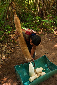 Macushi woman preparing cassava bread from Cassava / Yuca (Manihot esculenta),  crop is harvested, peeled, grated, squeezed to a matape, sieved, and roasted into a large flat piece of bread, Fairview...  -  Pete Oxford