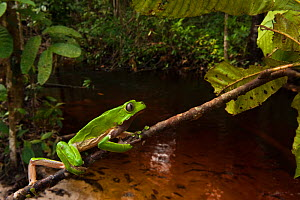 Giant leaf frog (Phyllomedusa bicolor) climbing along branch in rainforest, Iwokrama Reserve, Guyana - Pete Oxford