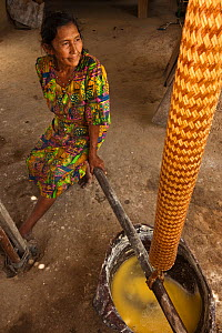 Amerindian woman, Winifred Brown, model released, using a Matape to strain liquid from mashed Cassava to make Cassava flour, Katoka,   Rupununi, Guyana, February 2010. Model released  -  Pete Oxford