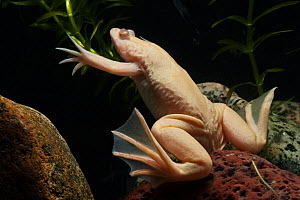 African clawed toad (Xenopus laevis) Albino, captive, from Southern Africa - Pete Oxford