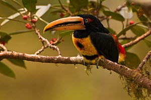 Pale-mandibled aracari (Pteroglossus erythropygius) feeding in fruiting fig tree, Mindo cloudforest, Mindo, Choco, Ecuador, endemic  -  Pete Oxford