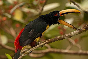 Pale-mandibled aracari (Pteroglossus erythropygius) perched, calling, Mindo cloudforest, Mindo, Choco, Ecuador, endemic  -  Pete Oxford