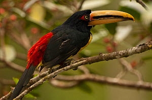 Pale-mandibled aracari (Pteroglossus erythropygius) perched in fig tree, Mindo cloudforest, Mindo, Choco, Ecuador, endemic  -  Pete Oxford