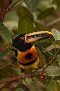 Pale-mandibled aracari (Pteroglossus erythropygius) perched in fruiting fig tree, Mindo cloudforest, Mindo, Choco, Ecuador, endemic  -  Pete Oxford
