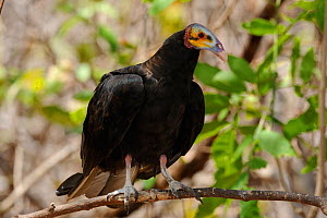 Lesser Yellow-headed vulture (Cathartes burrovianus) perched in the Caatinga forest at Serra das Almas Natural Reserve, western Ceara State, Brazil. - Luiz Claudio Marigo
