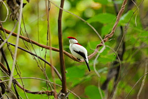 Araripe manakin (Antilophia bokermanni) critically endangered, endemic to the Araripe Highlands, at the Atlantic Rainforest, municipality of Barbalha, southeastern Cearia State, northeastern Brazil, D... - Luiz Claudio Marigo