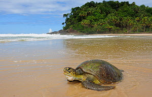 Green Turtle (Chelonia mydas) on the seashore on Prainha Beach, municipality of Itacara, southeastern Bahia State. Brazil, August - Luiz Claudio Marigo