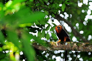 Golden-headed Lion Tamarin (Leontopithecus chrysomelas) sitting on tree branch, Atlantic Rainforest of Southern Bahia, municipality of Una, southern Bahia State, Eastern Brazil. August - Luiz Claudio Marigo