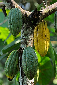 Fruits of Cocoa tree (Theobroma cacao) Atlantic Rainforest of Southern Bahia, municipality of Una, southern Bahia State, Eastern Brazil. August - Luiz Claudio Marigo