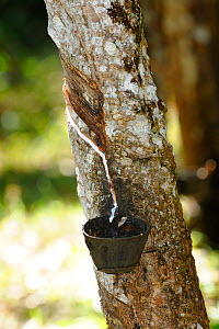 Scars of collecting latex on the trunk of the rubber tree (Hevea brasiliensis) in the Atlantic Rainforest of Southern Bahia, municipality of Una, southern Bahia State, Eastern Brazil. August  -  Luiz Claudio Marigo