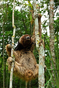 Maned Three toed Sloth (Bradypus torquatus), climbing tree,  Atlantic Rainforest near Itabuna, southeastern Bahia State, Brazil. Endangered. August 2010 - Luiz Claudio Marigo