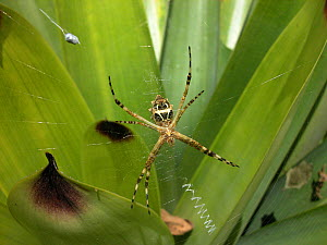 Silver Argiope (Argiope argentata) spider in its web in the Atlantic rainforest of Serrinha do Alambari Environmental Protection Area, municipality of Resende, Rio de Janeiro State, Brazil. - Luiz Claudio Marigo
