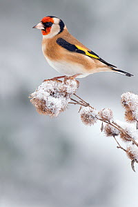 Goldfinch (Carduelis carduelis) perched on snow covered Lesser Burdock seedhead, December, Hertfordshire, UK  -  Andy Sands