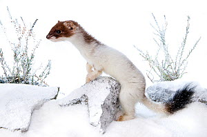 Stoat (Mustela erminea) in partial white winter ermine coat, captive, UK. British stoats rarely assume full winter ermine coast. This animal originated from Teesdale, County Durham.  -  Andy Sands