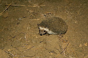 Collared hedgehog (Hemiechinus collaris) at night, Kutch, Gujarat, India, April  -  ASHISH & SHANTHI CHANDOLA