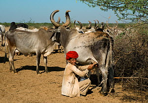 Maldhari man milking his cattle (Bos indicus), Kutch, Gujarat, India, April 2009  -  ASHISH & SHANTHI CHANDOLA