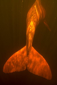 Amazon river dolphin / Boto (Inia geoffrensis) tail view underwater with light above, flooded rainforest, Rio Negro, Amazonia, Brazil, July - Kevin Schafer