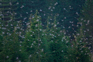 Huge flock of Bramblings (Fringilla montifringilla) flying to roost in trees, Gorbeia Natural Park, Basque country, Spain, January 2011, unusual winter visitors pushed further south than usual by the... - Juan Carlos Munoz