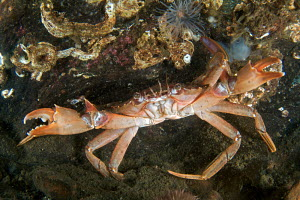 Harbour / swimming crab (Liocarcinus depurator) raising its pincers when threatened. Loch Long, Scotland. - Elaine Whiteford