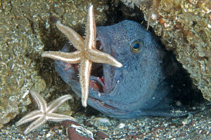 Wolffish (Anarhichas lupus) snatching a common starfish (Asterias rubens) from a rock in the North Sea off St Abbs, Berwickshire, Scotland. - Elaine Whiteford