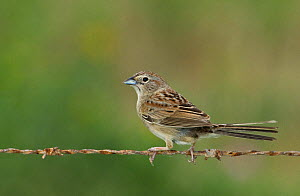 Botteri's Sparrow (Aimophila botterii) perched on barbed wire fence, Near Laguna Atascosa National Wildlife Refuge, Texas, USA, May - David Welling