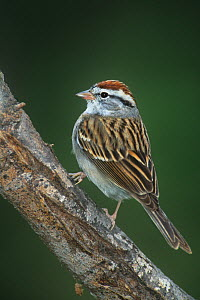 Chipping Sparrow (Spizella passerina) perching on a Mesquite tree log Rio Grande Valley of South Texas, USA - David Welling