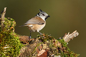 Crested tit (Lophophanes cristatus) perched on moss covered log, La Rioja, Spain, November  -  Jose Luis GOMEZ de FRANCISCO