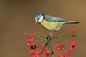 Blue tit (Parus caeruleus) perched on berry covered Spindle tree branch (Euonymus europaeus) Spain, November  -  Jose Luis GOMEZ de FRANCISCO