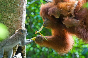 Long tailed macaque (Macaca fascicularis) trying to take banana from Sumatran Orangutan (Pongo abelii and young baby, North Sumatra, Indonesia. Critically Endangered  -  Suzi Eszterhas