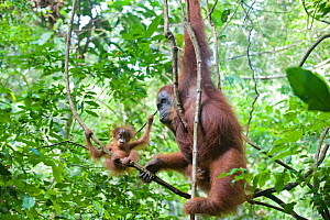 Sumatran Orangutan (Pongo abelii) mother and playful  baby aged 9 months, North Sumatra, Indonesia. Critically Endangered *Digitally removed highlight in background  -  Suzi Eszterhas