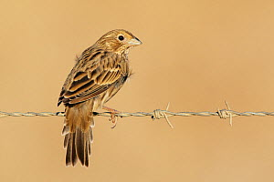 Corn Bunting (Miliaria / Emberiza alandra) perched on barbed wire, Spain, September - Markus Varesvuo