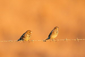 Two Corn Buntings (Miliaria / Emberiza calandra) perched on barbed wire fence, Spain, September - Markus Varesvuo