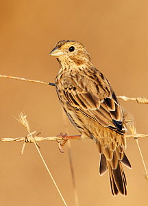 Corn Bunting (Miliaria / Emberiza calandra) perched on barbed wire fence, Spain, September - Markus Varesvuo
