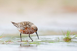 Curlew Sandpiper (Calidris ferruginea) wading and foraging in shallow casotal waters, Kalajoki, Finland, July  -  Markus Varesvuo