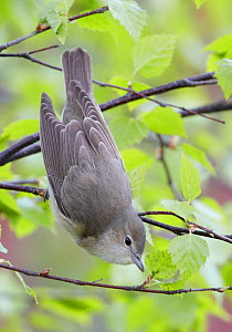 Garden Warbler (Sylvia borin) perched feeding on aphids, perched on branch, Finland, May  -  Markus Varesvuo