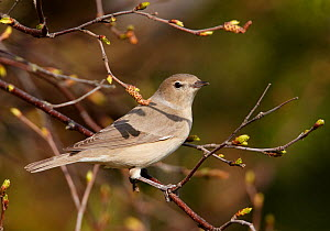 Garden Warbler (Sylvia borin) perched on branch, Finland, May  -  Markus Varesvuo