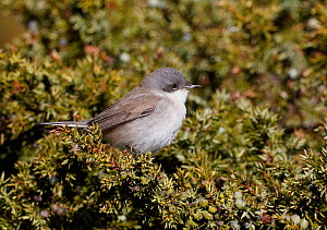 Lesser Whitethroat (Sylvia curruca) perched in shrub, Finland, April  -  Markus Varesvuo