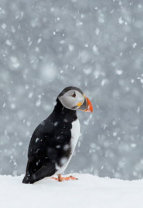 Puffin (Fratercula arctica) portrait in the snow, Norway, March  -  Markus Varesvuo