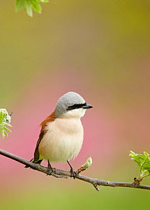 Red-backed Shrike (Lanius collurio) male perched on branch, Finland May  -  Markus Varesvuo