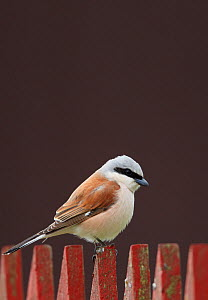 Red-backed Shrike (Lanius collurio) male perched on fence, Finland May - Markus Varesvuo