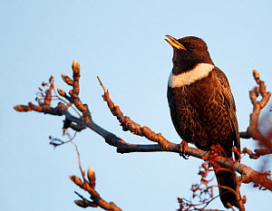 Ring Ouzel (Turdus torquatus) singing, perched in tree, in evening light, Finland, May  -  Markus Varesvuo