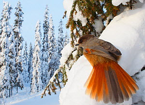 Siberian Jay (Perisoreus infaustus) perched on snow covered pine tree, Kuusamo, Finland, February  -  Markus Varesvuo