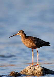 Spotted Redshank (Tringa erythropus) juvenile standing on exposed rock, Finland, May - Markus Varesvuo