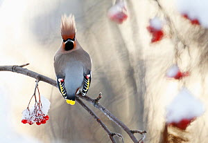 Waxwing (Bombycilla garrulus) perched on snow covered Rowan branch (Sorbus sp.) with berries, Kuusamo, Finland, January.  -  Markus Varesvuo