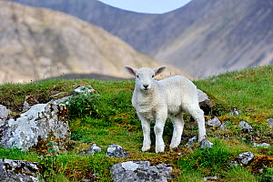 Cheviot sheep (Ovis aries) lamb portrait in the Scottish Highlands, Scotland, UK, May  -  Philippe Clement