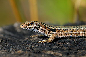 Close-up of Common wall lizard (Podarcis / Lacerta muralis) sunning on burned wood, La Brenne, France  -  Philippe Clement