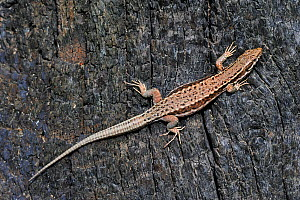 Common wall lizard (Podarcis / Lacerta muralis) sunning on burned wood, La Brenne, France  -  Philippe Clement